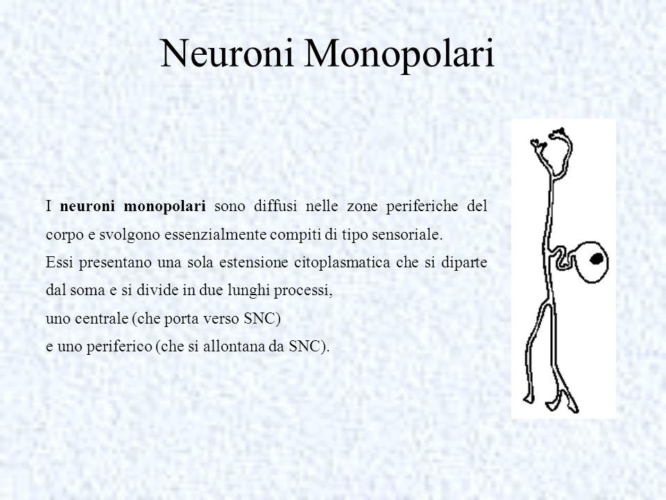 Neuroni Monopolari I neuroni monopolari sono diffusi nelle zone periferiche del corpo e svolgono essenzialmente compiti di tipo sensoriale. Essi prese