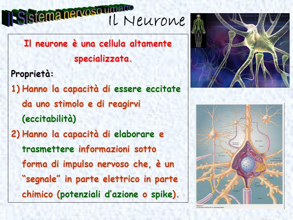 Il Neurone Il neurone è una cellula altamente specializzata. Proprietà: 1)Hanno la capacità di essere eccitate da uno stimolo e di reagirvi (eccitabil