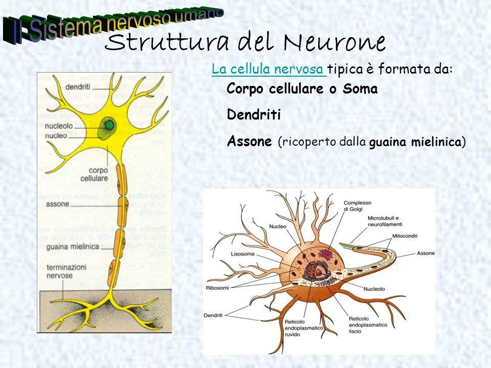 Struttura del Neurone La cellula nervosa La cellula nervosa tipica è formata da: Corpo cellulare o Soma Dendriti Assone (ricoperto dalla guaina mielin