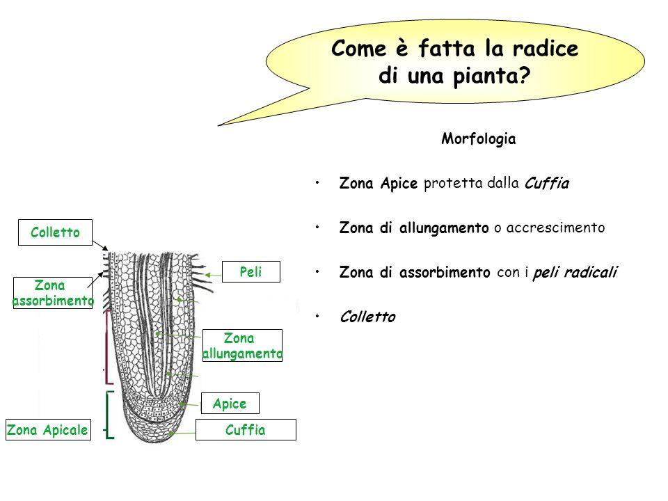 Come è fatta la radice di una pianta? Morfologia Zona Apice protetta dalla Cuffia Zona di allungamento o accrescimento Zona di assorbimento con i peli