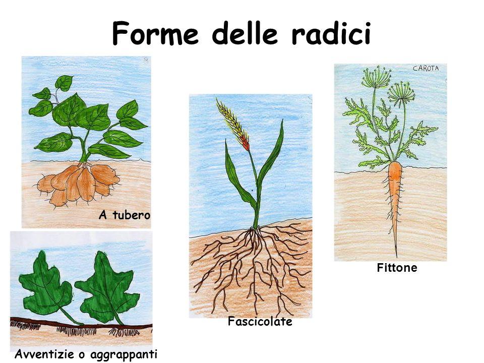 Forme delle radici Fittone Fascicolate Avventizie o aggrappanti A tubero