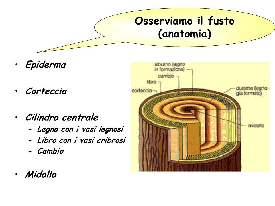 Epiderma Corteccia Cilindro centrale –Legno con i vasi legnosi –Libro con i vasi cribrosi –Cambio Midollo Osserviamo il fusto (anatomia)