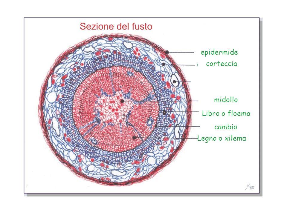 epidermide corteccia midollo Libro o floema cambio Legno o xilema