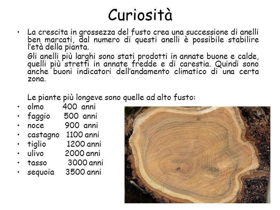 Curiosità La crescita in grossezza del fusto crea una successione di anelli ben marcati, dal numero di questi anelli è possibile stabilire letà della