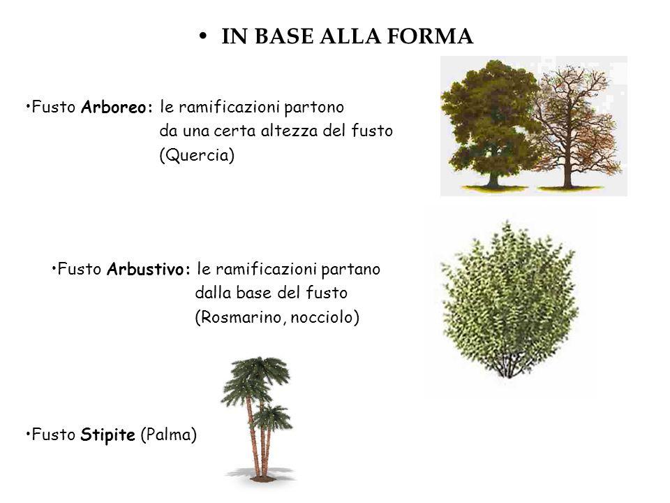 IN BASE ALLA FORMA Fusto Arboreo: le ramificazioni partono da una certa altezza del fusto (Quercia) Fusto Arbustivo: le ramificazioni partano dalla ba