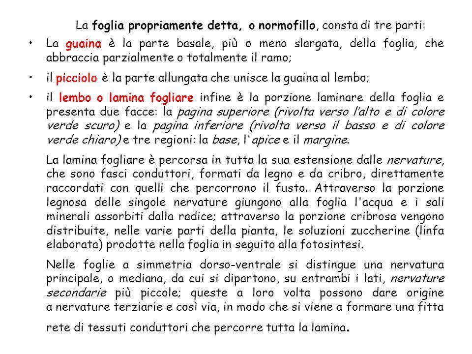 La foglia propriamente detta, o normofillo, consta di tre parti: La guaina è la parte basale, più o meno slargata, della foglia, che abbraccia parzial