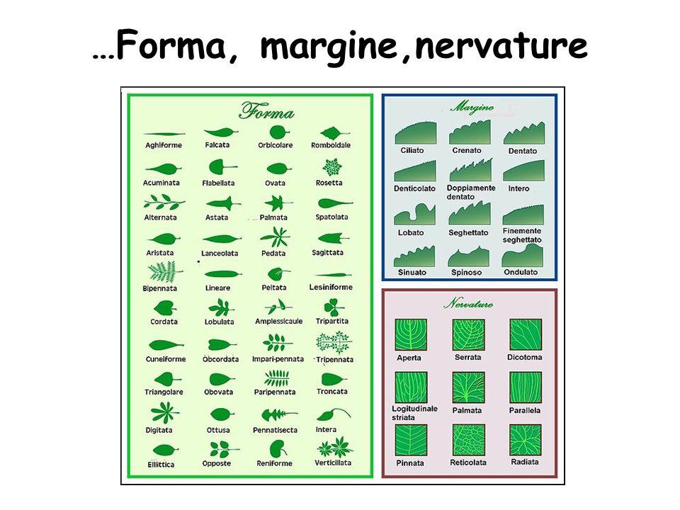 …Forma, margine,nervature