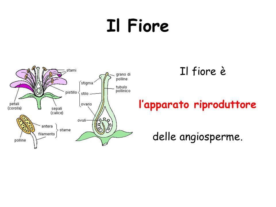 Il Fiore Il fiore è lapparato riproduttore delle angiosperme.
