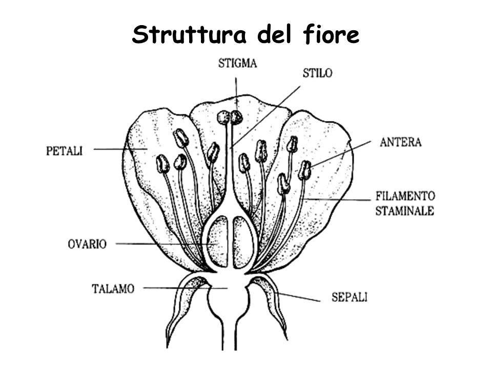 Struttura del fiore