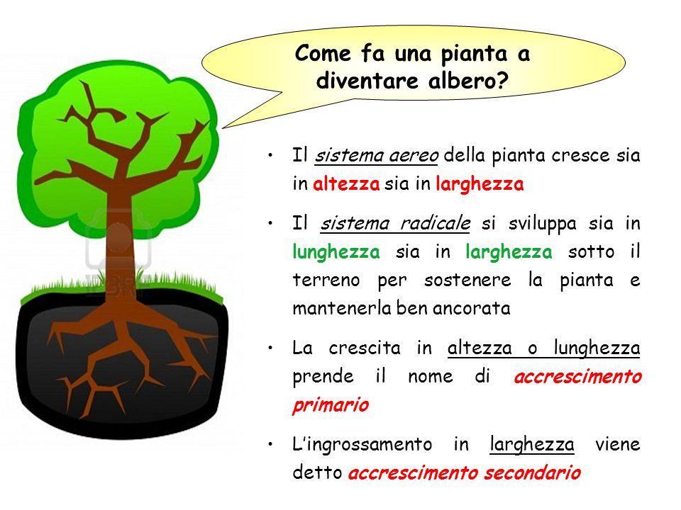 Come fa una pianta a diventare albero? Il sistema aereo della pianta cresce sia in altezza sia in larghezza Il sistema radicale si sviluppa sia in lun