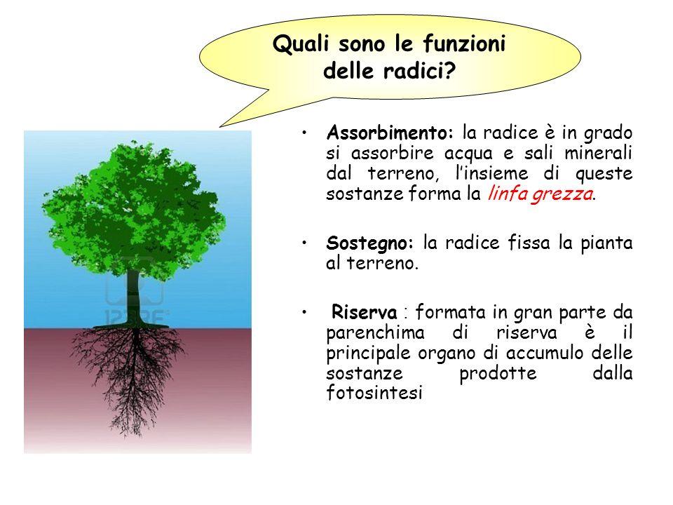 Quali sono le funzioni delle radici? Assorbimento: la radice è in grado si assorbire acqua e sali minerali dal terreno, linsieme di queste sostanze fo