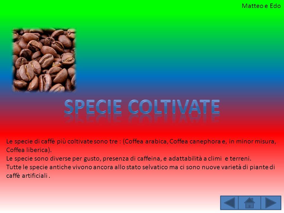 Le specie di caffè più coltivate sono tre : (Coffea arabica, Coffea canephora e, in minor misura, Coffea liberica). Le specie sono diverse per gusto,