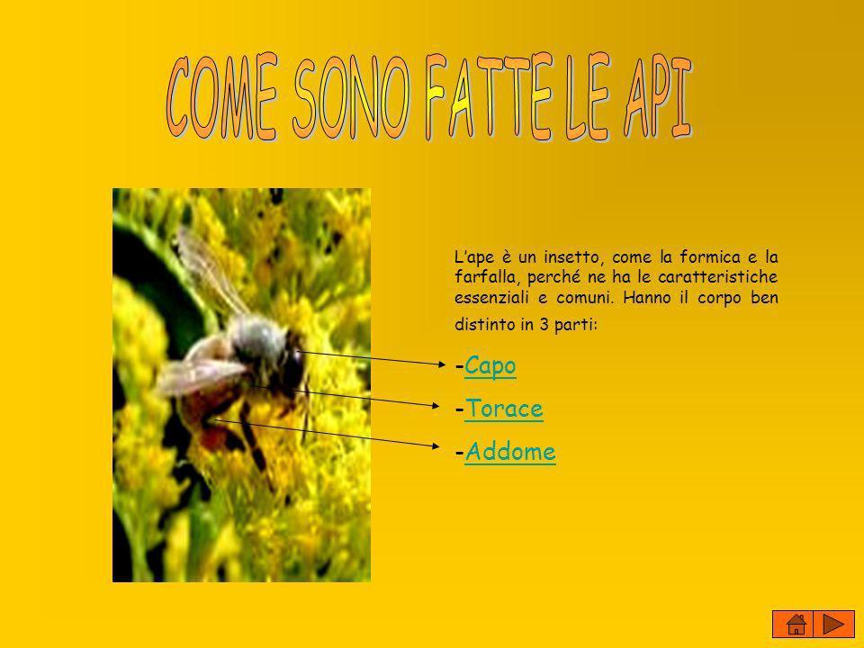 Lape è un insetto, come la formica e la farfalla, perché ne ha le caratteristiche essenziali e comuni. Hanno il corpo ben distinto in 3 parti: -CapoCa