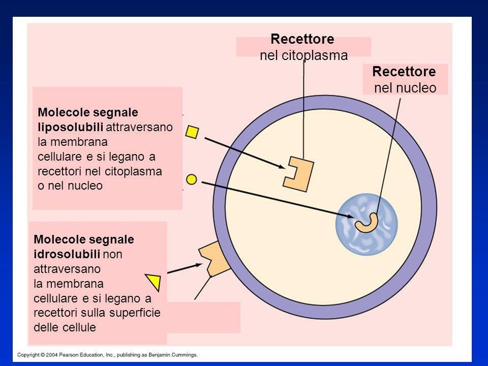 Recettore nel citoplasma Molecole segnale liposolubili attraversano la membrana cellulare e si legano a recettori nel citoplasma o nel nucleo Molecole