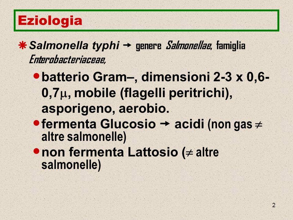 13 Patogenesi Inizio sindrome clinica (febbre, cefalea, malessere, dolori addominali, leucopenia) legato allantigene somatico O – endotossina.