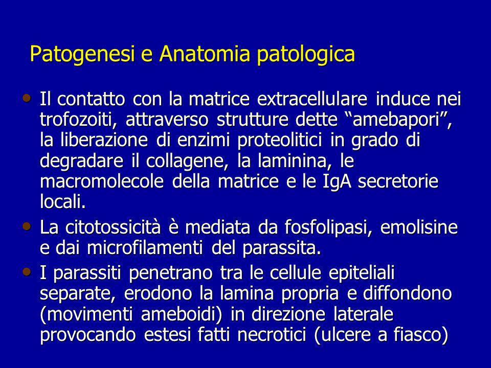 Patogenesi e Anatomia patologica Il contatto con la matrice extracellulare induce nei trofozoiti, attraverso strutture dette amebapori, la liberazione