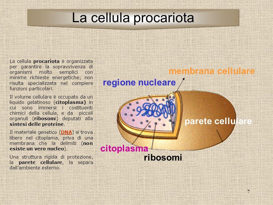 7 parete cellulare ribosomi citoplasma regione nucleare membrana cellulare La cellula procariota è organizzata per garantire la sopravvivenza di organismi molto semplici con minime richieste energetiche; non risulta specializzata nel compiere funzioni particolari.