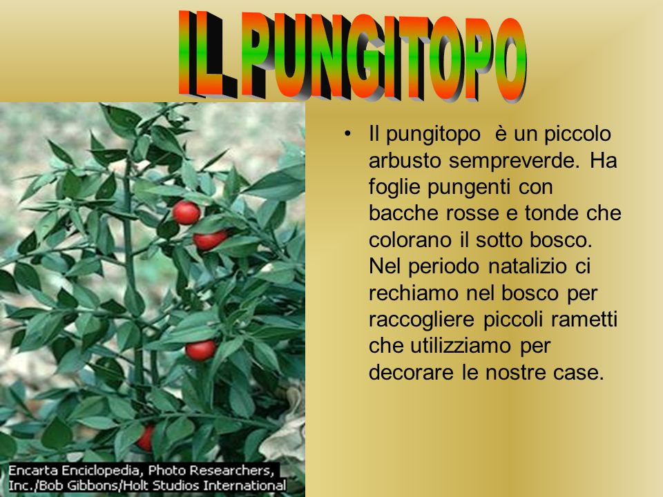 Il pungitopo è un piccolo arbusto sempreverde.