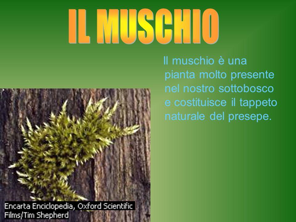 Il muschio è una pianta molto presente nel nostro sottobosco e costituisce il tappeto naturale del presepe.
