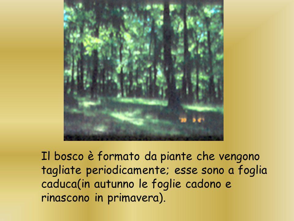 Il bosco è formato da piante che vengono tagliate periodicamente; esse sono a foglia caduca(in autunno le foglie cadono e rinascono in primavera).