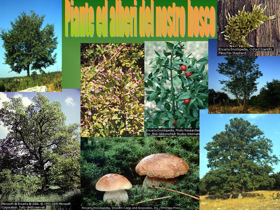 La quercia è un albero molto presente nel nostro territorio.