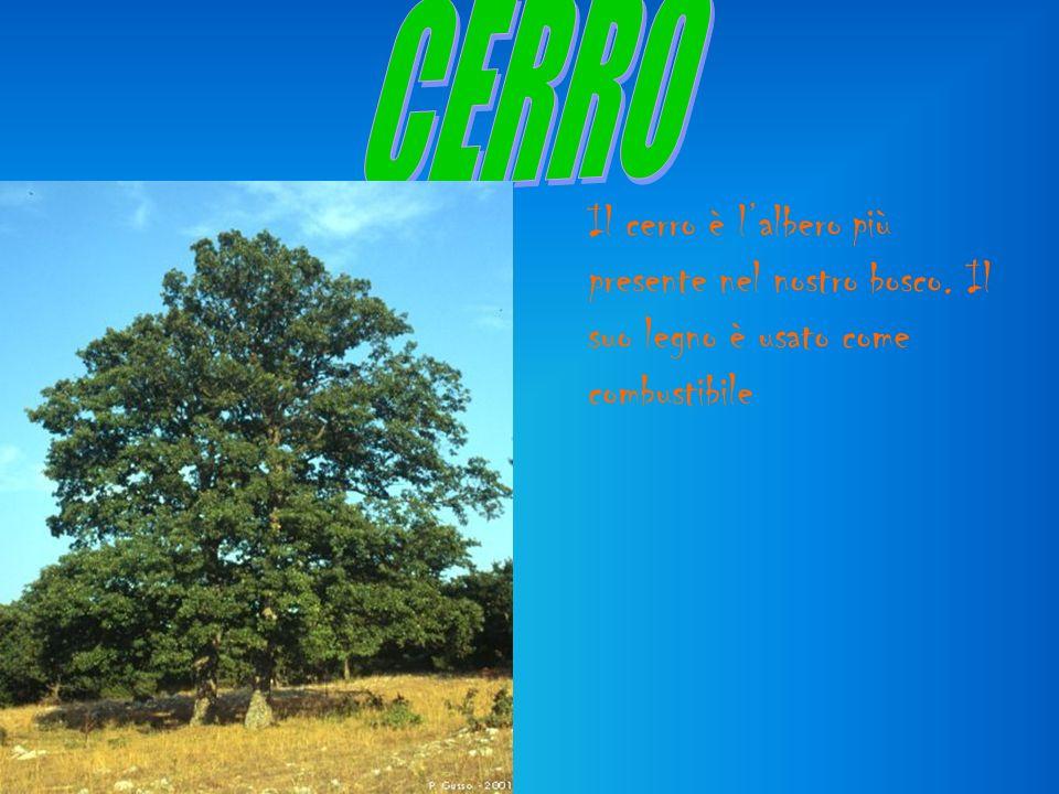 Il cerro è lalbero più presente nel nostro bosco. Il suo legno è usato come combustibile