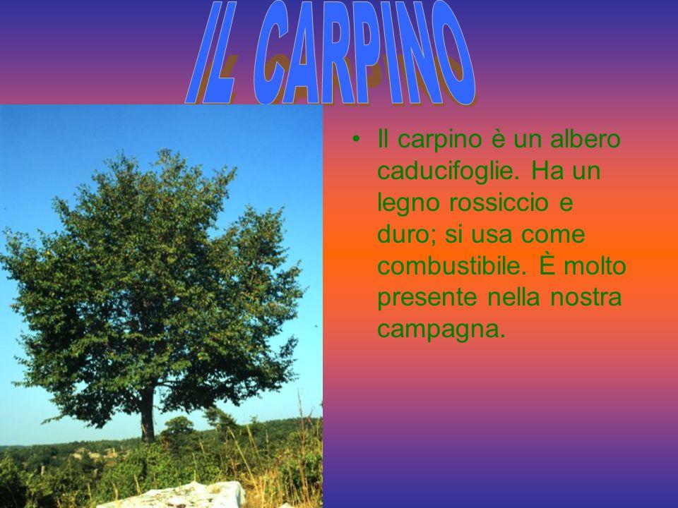 Il carpino è un albero caducifoglie.Ha un legno rossiccio e duro; si usa come combustibile.