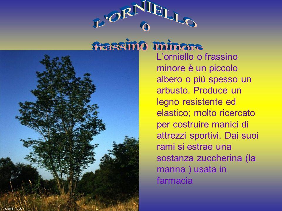 Lorniello o frassino minore è un piccolo albero o più spesso un arbusto.