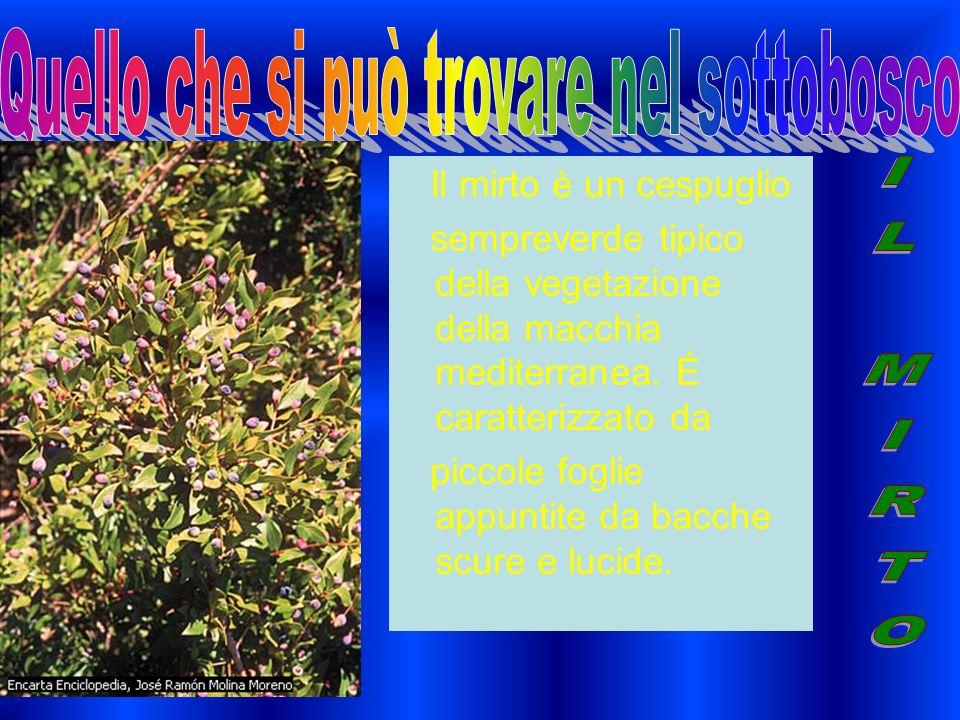 Il mirto è un cespuglio sempreverde tipico della vegetazione della macchia mediterranea.