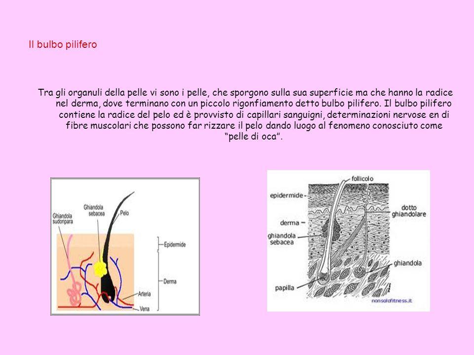 Il bulbo pilifero Tra gli organuli della pelle vi sono i pelle, che sporgono sulla sua superficie ma che hanno la radice nel derma, dove terminano con
