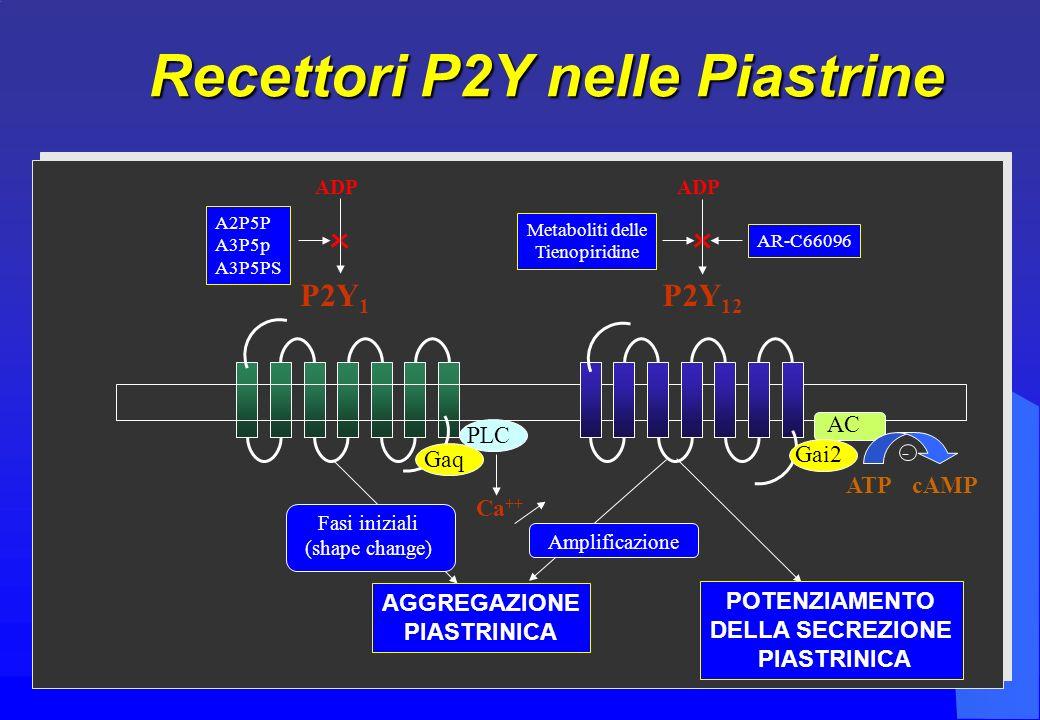 A2P5P A3P5p A3P5PS P2Y 1 ADP Metaboliti delle Tienopiridine P2Y 12 ADP AR-C66096 PLC Gaq Ca ++ AC Gai2 ATPcAMP - Fasi iniziali (shape change) AGGREGAZIONE PIASTRINICA Amplificazione POTENZIAMENTO DELLA SECREZIONE PIASTRINICA Recettori P2Y nelle Piastrine