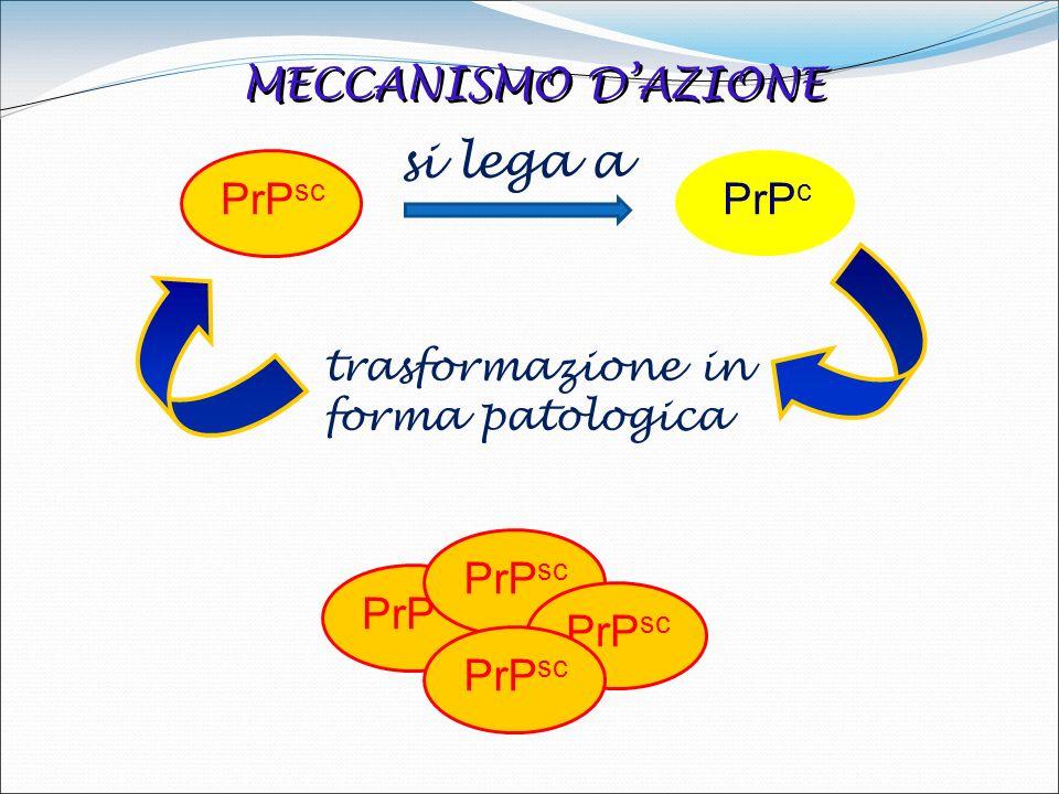 MECCANISMO DAZIONE PrP sc si lega a PrP c trasformazione in forma patologica trasformazione in forma patologica PrP sc