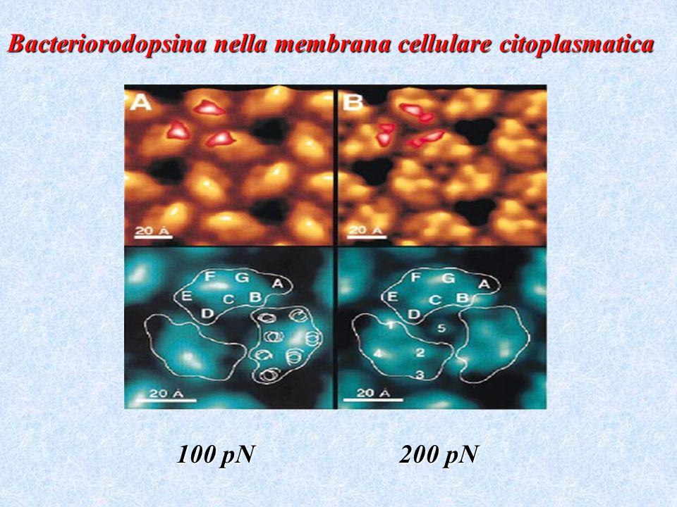 100 pN 200 pN Bacteriorodopsina nella membrana cellulare citoplasmatica