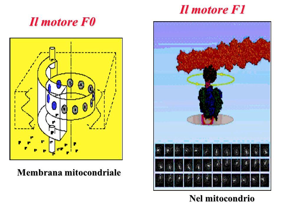 Il motore F0 Il motore F1 Membrana mitocondriale Nel mitocondrio