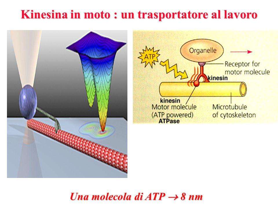 Kinesina in moto : un trasportatore al lavoro Una molecola di ATP 8 nm