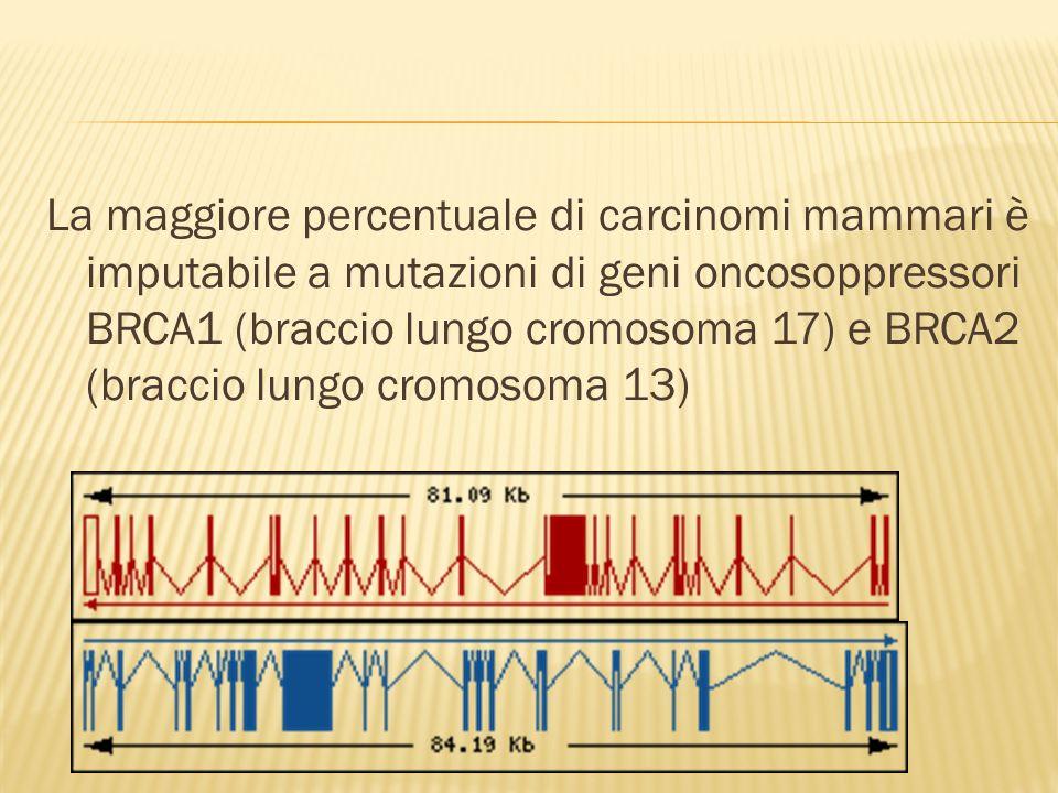 La maggiore percentuale di carcinomi mammari è imputabile a mutazioni di geni oncosoppressori BRCA1 (braccio lungo cromosoma 17) e BRCA2 (braccio lungo cromosoma 13)