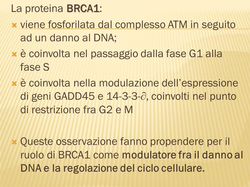 BRCA1 La proteina BRCA1: viene fosforilata dal complesso ATM in seguito ad un danno al DNA; è coinvolta nel passaggio dalla fase G1 alla fase S è coinvolta nella modulazione dellespressione di geni GADD45 e 14-3-3-, coinvolti nel punto di restrizione fra G2 e M Queste osservazione fanno propendere per il ruolo di BRCA1 come modulatore fra il danno al DNA e la regolazione del ciclo cellulare.