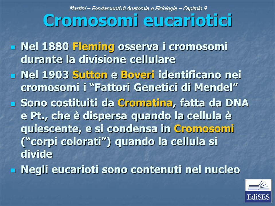 Martini – Fondamenti di Anatomia e Fisiologia – Capitolo 9 Cromosomi eucariotici Nel 1880 Fleming osserva i cromosomi durante la divisione cellulare Nel 1880 Fleming osserva i cromosomi durante la divisione cellulare Nel 1903 Sutton e Boveri identificano nei cromosomi i Fattori Genetici di Mendel Nel 1903 Sutton e Boveri identificano nei cromosomi i Fattori Genetici di Mendel Sono costituiti da Cromatina, fatta da DNA e Pt., che è dispersa quando la cellula è quiescente, e si condensa in Cromosomi (corpi colorati) quando la cellula si divide Sono costituiti da Cromatina, fatta da DNA e Pt., che è dispersa quando la cellula è quiescente, e si condensa in Cromosomi (corpi colorati) quando la cellula si divide Negli eucarioti sono contenuti nel nucleo Negli eucarioti sono contenuti nel nucleo