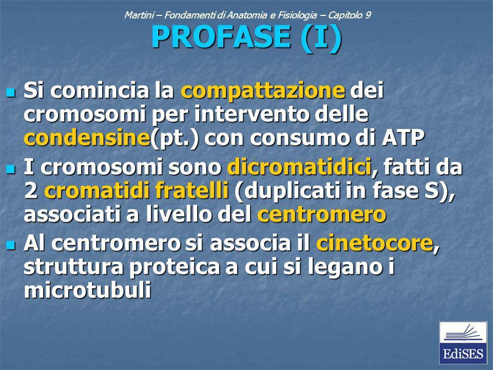 PROFASE (I) Si comincia la compattazione dei cromosomi per intervento delle condensine(pt.) con consumo di ATP Si comincia la compattazione dei cromosomi per intervento delle condensine(pt.) con consumo di ATP I cromosomi sono dicromatidici, fatti da 2 cromatidi fratelli (duplicati in fase S), associati a livello del centromero I cromosomi sono dicromatidici, fatti da 2 cromatidi fratelli (duplicati in fase S), associati a livello del centromero Al centromero si associa il cinetocore, struttura proteica a cui si legano i microtubuli Al centromero si associa il cinetocore, struttura proteica a cui si legano i microtubuli