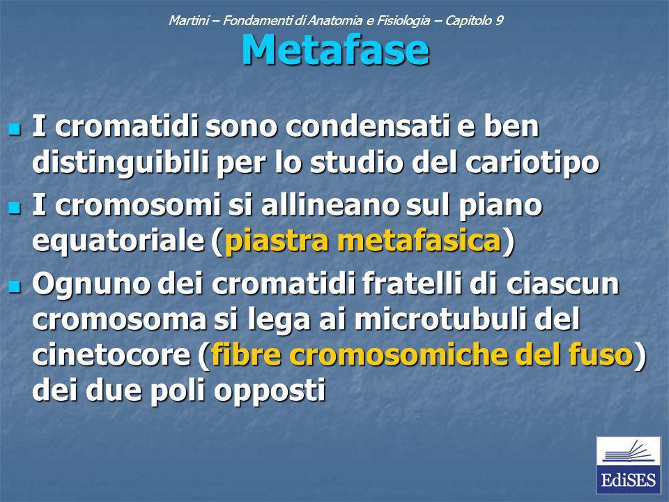 Metafase I cromatidi sono condensati e ben distinguibili per lo studio del cariotipo I cromatidi sono condensati e ben distinguibili per lo studio del