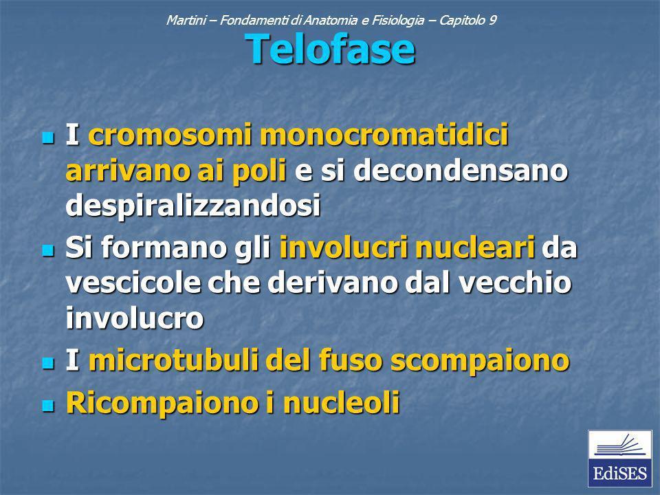 Martini – Fondamenti di Anatomia e Fisiologia – Capitolo 9 Telofase I cromosomi monocromatidici arrivano ai poli e si decondensano despiralizzandosi I cromosomi monocromatidici arrivano ai poli e si decondensano despiralizzandosi Si formano gli involucri nucleari da vescicole che derivano dal vecchio involucro Si formano gli involucri nucleari da vescicole che derivano dal vecchio involucro I microtubuli del fuso scompaiono I microtubuli del fuso scompaiono Ricompaiono i nucleoli Ricompaiono i nucleoli