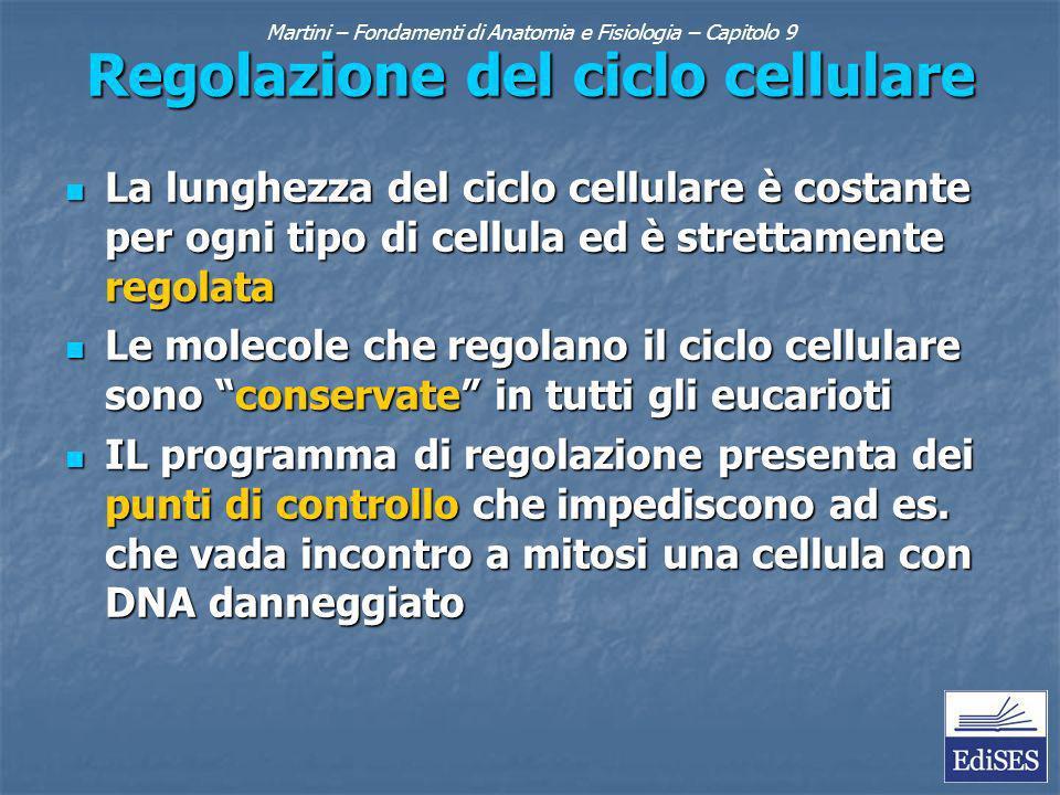 Martini – Fondamenti di Anatomia e Fisiologia – Capitolo 9 Regolazione del ciclo cellulare La lunghezza del ciclo cellulare è costante per ogni tipo d