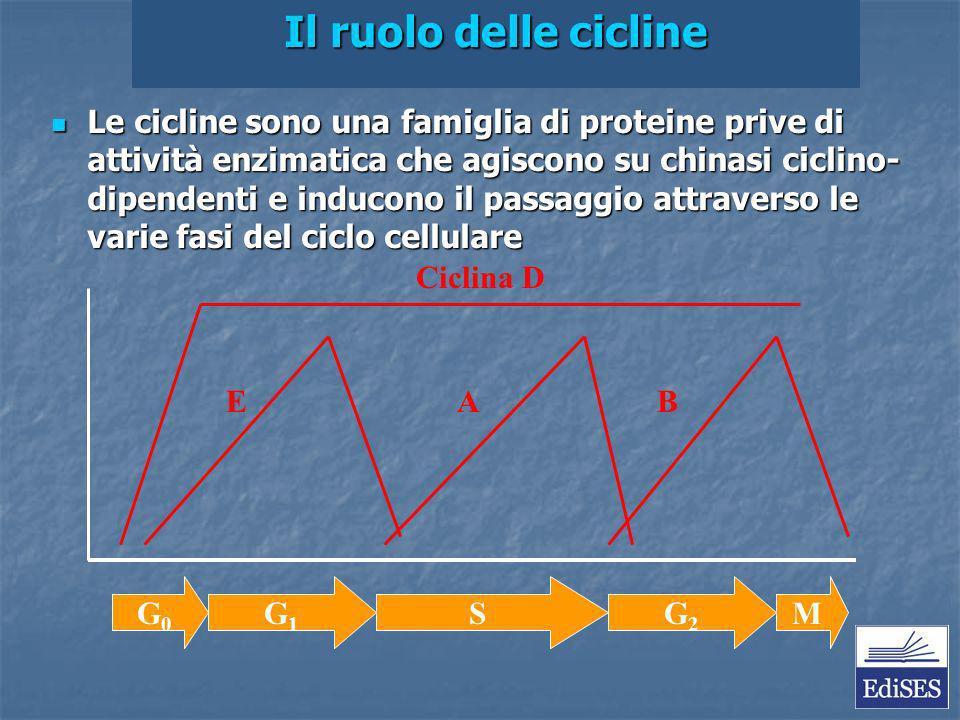 Martini – Fondamenti di Anatomia e Fisiologia – Capitolo 9 Il ruolo delle cicline Le cicline sono una famiglia di proteine prive di attività enzimatica che agiscono su chinasi ciclino- dipendenti e inducono il passaggio attraverso le varie fasi del ciclo cellulare Le cicline sono una famiglia di proteine prive di attività enzimatica che agiscono su chinasi ciclino- dipendenti e inducono il passaggio attraverso le varie fasi del ciclo cellulare G0G0 G1G1 SG2G2 M Ciclina D E A B