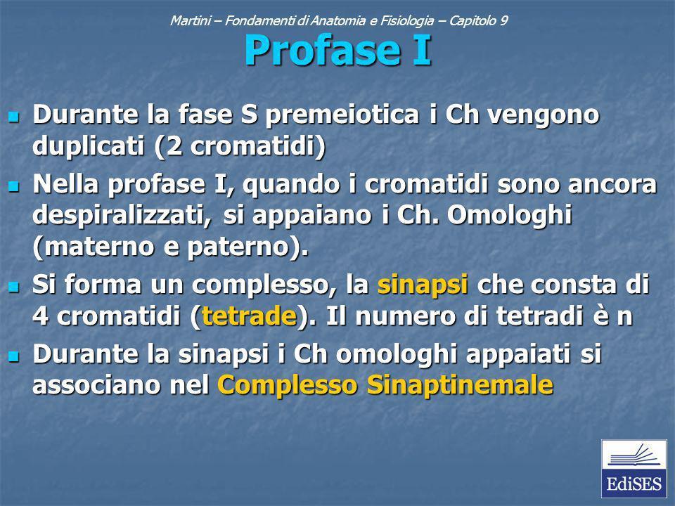 Profase I Durante la fase S premeiotica i Ch vengono duplicati (2 cromatidi) Durante la fase S premeiotica i Ch vengono duplicati (2 cromatidi) Nella profase I, quando i cromatidi sono ancora despiralizzati, si appaiano i Ch.