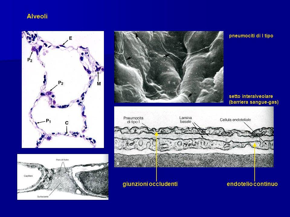 Alveoli pneumociti di I tipo setto interalveolare (barriera sangue-gas) giunzioni occludenti endotelio continuo