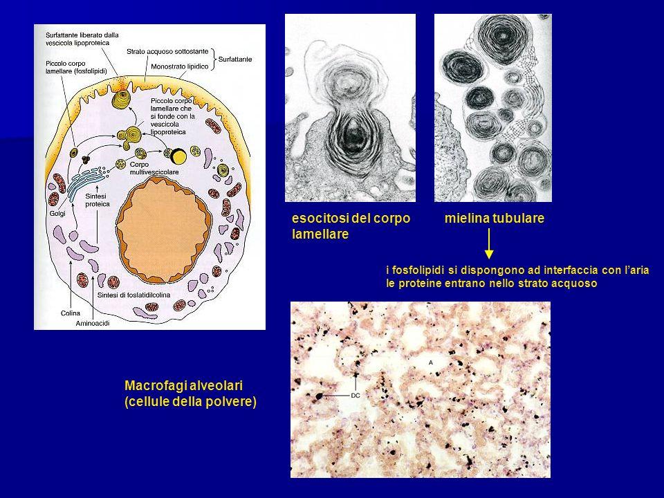 esocitosi del corpo mielina tubulare lamellare i fosfolipidi si dispongono ad interfaccia con laria le proteine entrano nello strato acquoso Macrofagi