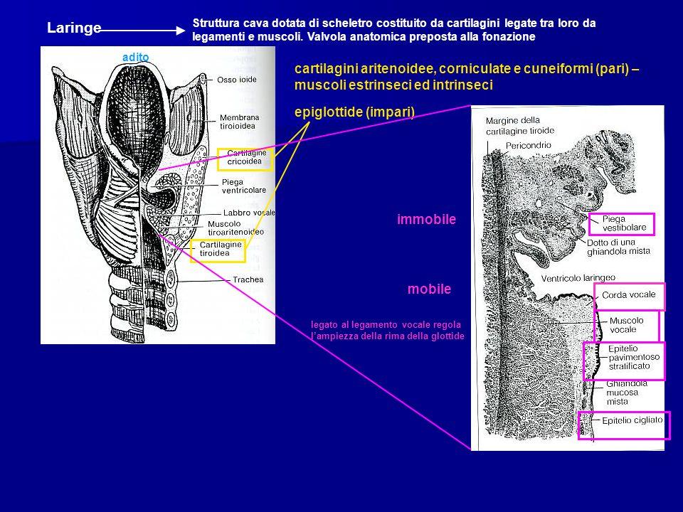 adito Laringe Struttura cava dotata di scheletro costituito da cartilagini legate tra loro da legamenti e muscoli. Valvola anatomica preposta alla fon