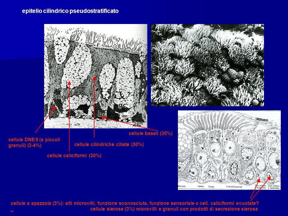 epitelio cilindrico pseudostratificato cellule caliciformi (30%) cellule cilindriche ciliate (30%) cellule basali (30%) cellule DNES (a piccoli granul