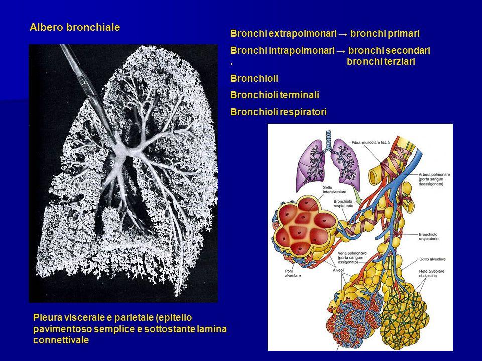 Albero bronchiale Bronchi extrapolmonari bronchi primari Bronchi intrapolmonari bronchi secondari. bronchi terziari Bronchioli Bronchioli terminali Br
