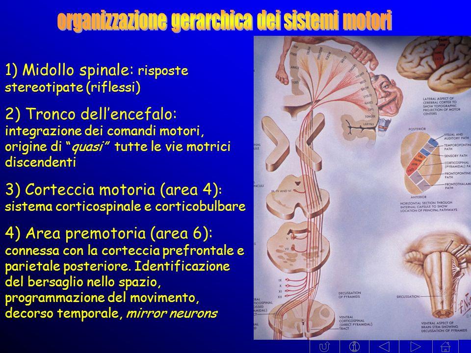 1) Midollo spinale: risposte stereotipate (riflessi) 2) Tronco dellencefalo: integrazione dei comandi motori, origine di quasi tutte le vie motrici discendenti 3) Corteccia motoria (area 4) : sistema corticospinale e corticobulbare 4) Area premotoria (area 6): connessa con la corteccia prefrontale e parietale posteriore.